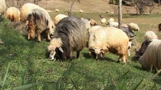 Ospat cu ocazia scoaterii oilor la mugur de iarba