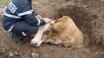 vaca groapa