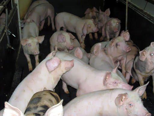 ferma porcina 1