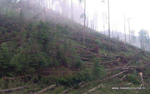 Ulma doboraturi arbori cazuti
