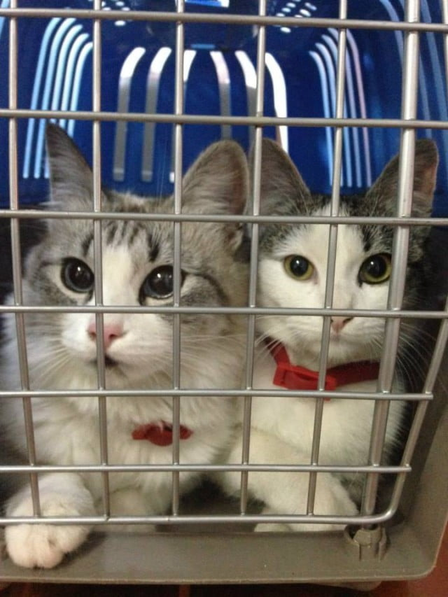 Cat stowed for spay/neuter in Vatra Dornei