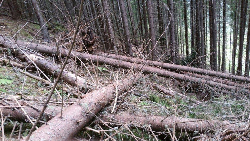 arbori doboratura (4)